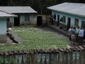 Coca leaves drying in sun